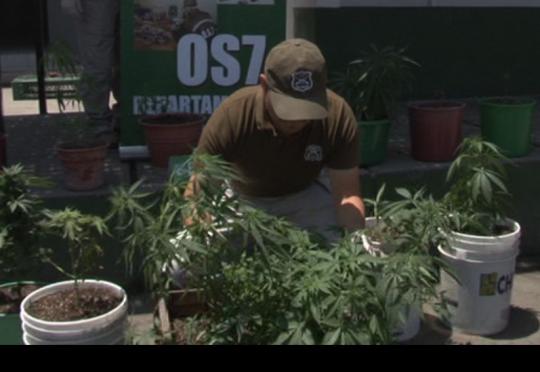 Decomisan 37 plantas de Marihuana que Joven Cultivaba en su Casa