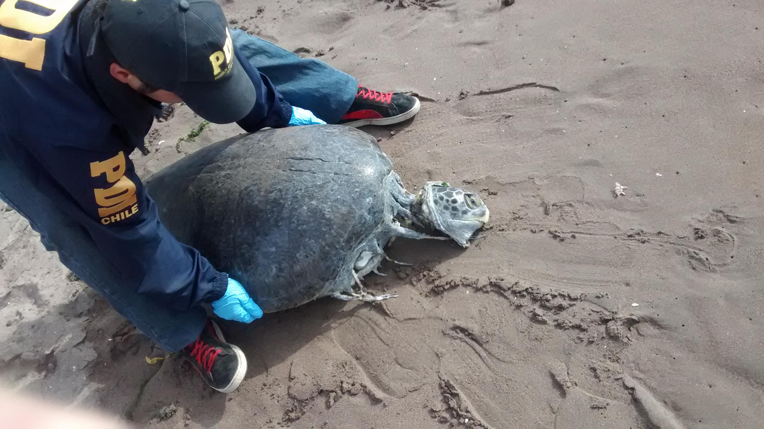 Hallan Tortuga Verde Descuartizada: PDI Investiga Hecho