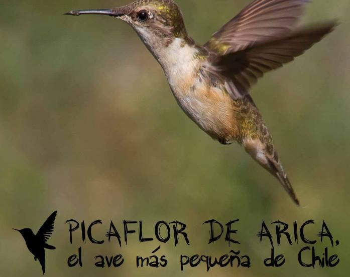 Preocupación: Picaflor de Arica ha Disminuido su Población en un 70 %