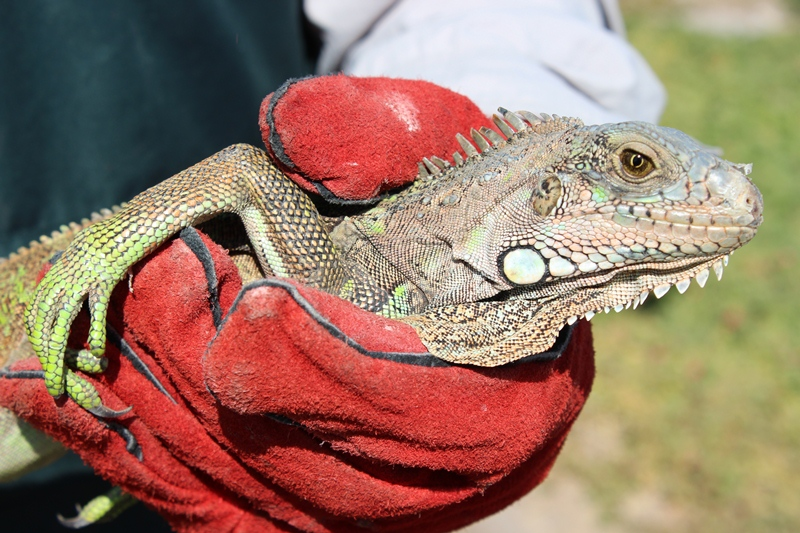 Extraña Visita: Iguana Verde Llegó  Sorpresivamente a una Casa