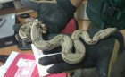 Escondidos en Calcetines Pretendían Ingresar Animales Exóticos al País